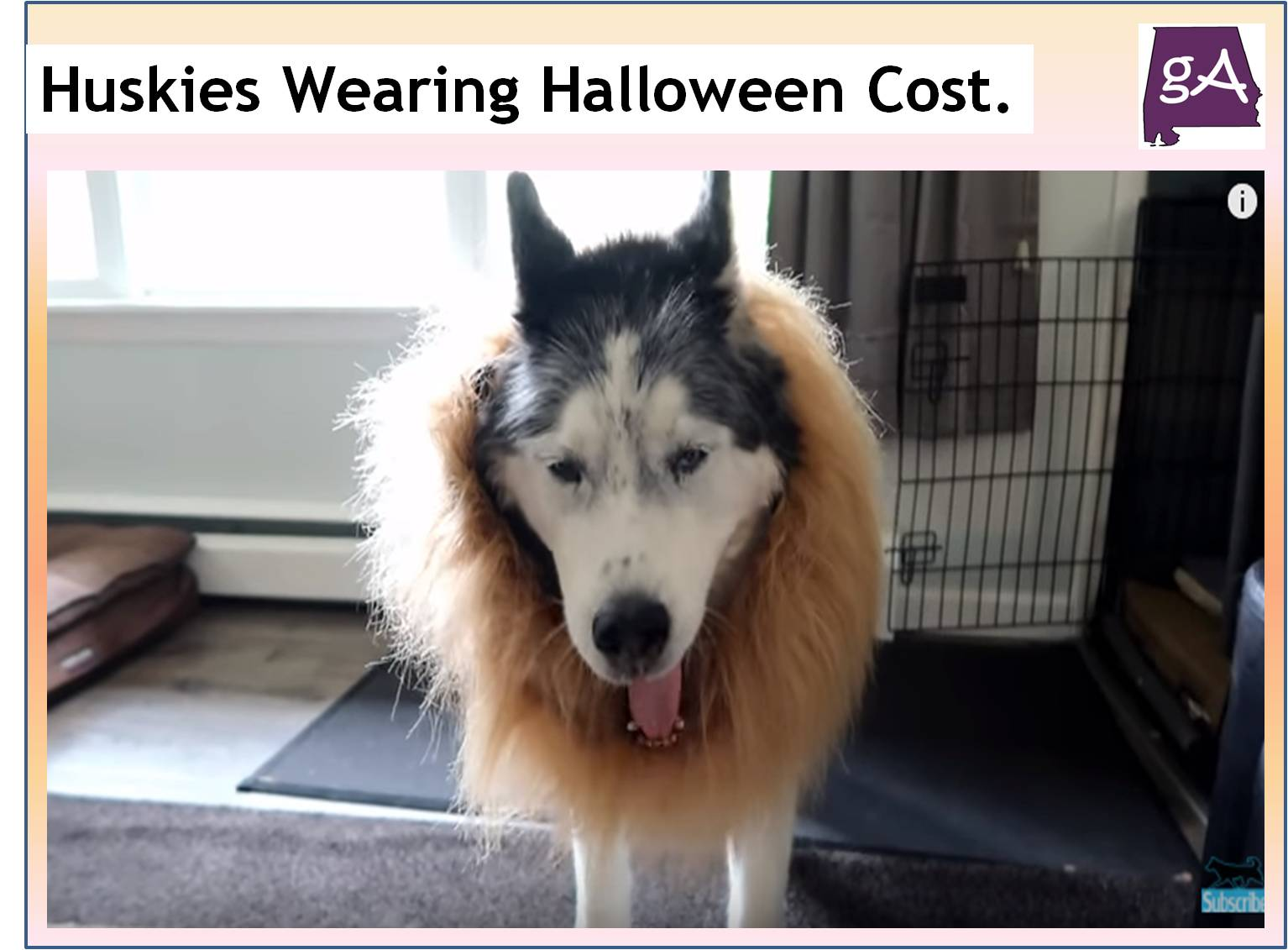 channel gone to the snow dogs has made this a yearly tradition by getting their siberian huskies shelby oakley and memphis to wear halloween costumes